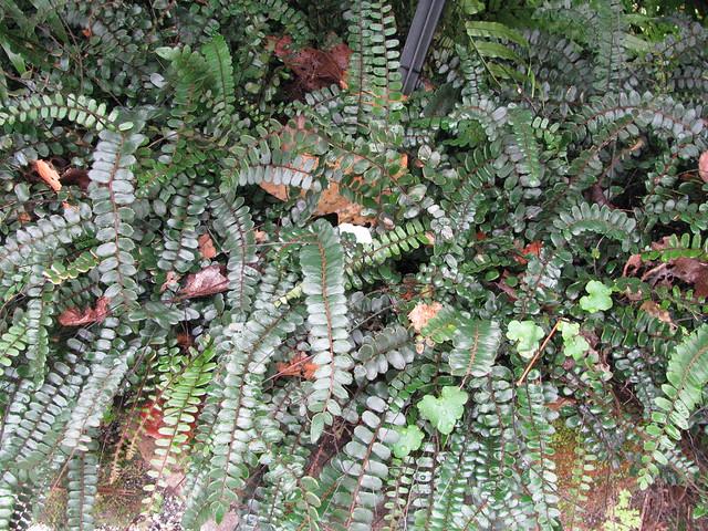 Pellaea Rotundifolia Flickr Photo Sharing