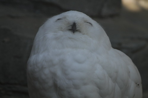 Smiling snowy owl