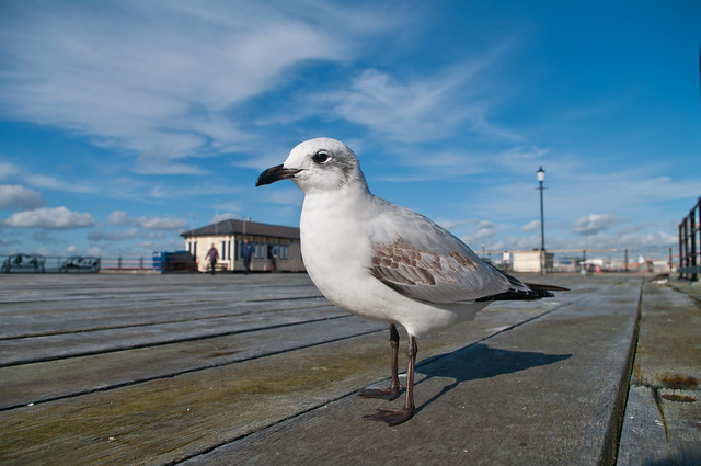black headed gull wide angle 18mm