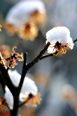 Hamamelis with snow
