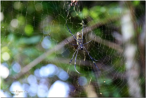 wood black yellow garden spider big web philippines resort malagos davaocity calinan