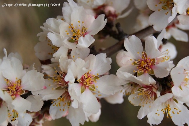 amendoeira em flor