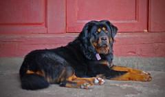 tibetan mastiff(0.0), bernese mountain dog(0.0), dog breed(1.0), animal(1.0), dog(1.0), hovawart(1.0), pet(1.0), carnivoran(1.0),