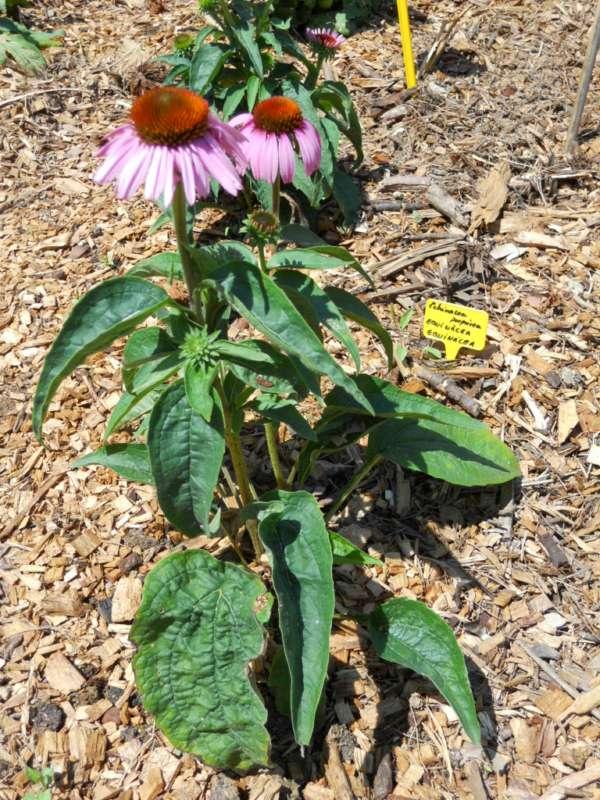 Echinacea purpurea v 2