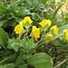Linaria platycalyx (Paul Harmes)
