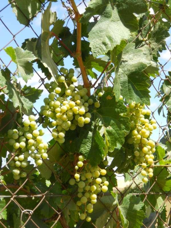 Vitis vinifera v 1