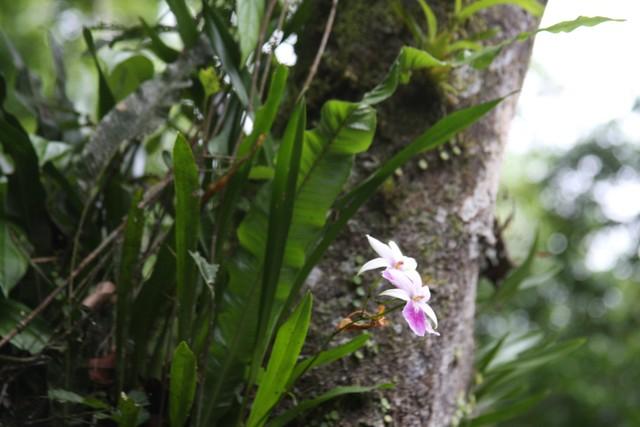 Miltonia regnelli no habitat - 1