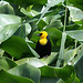 Yellow-hooded Blackbird (Peter Dunn)