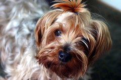 dog breed, animal, puppy, dog, schnoodle, pet, australian silky terrier, norfolk terrier, biewer terrier, morkie, australian terrier, close-up, carnivoran, yorkshire terrier, terrier,