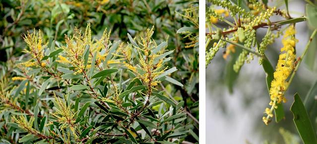 Fabaceae Acacia spirorbis