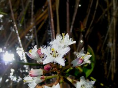 Menyanthes trifoliata / Buckbean