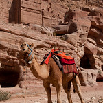 A Camel In Front of the Royal Tombs at Petra - Jordan