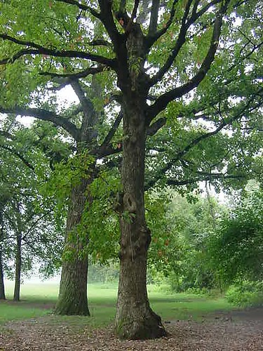 Ohio Buckeye Tree
