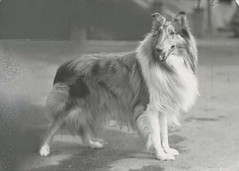 dog breed(1.0), animal(1.0), dog(1.0), pet(1.0), scotch collie(1.0), rough collie(1.0), collie(1.0), monochrome(1.0), carnivoran(1.0), black-and-white(1.0), shetland sheepdog(1.0),