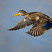 Black Duck in flight  by Mike Lentz Photography