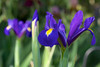 Dutch Iris by Eric Hunt.