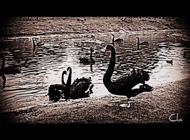 ... and I can remember those blacks swans in Carmarthen