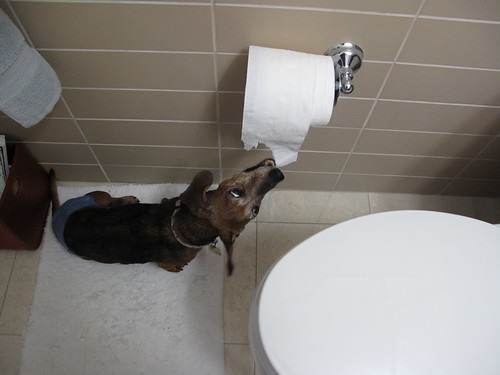 Scarlet the Wiener Dog discovers the tp dispenser!