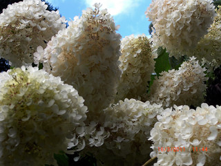 Hydrangea White taken by BeeLing02