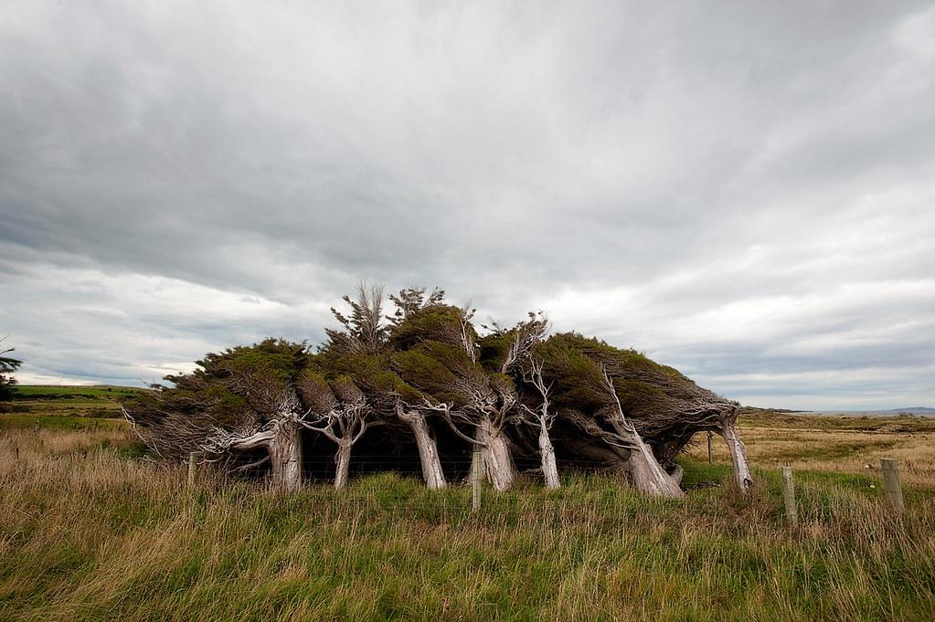 Новозеландские кривые леса