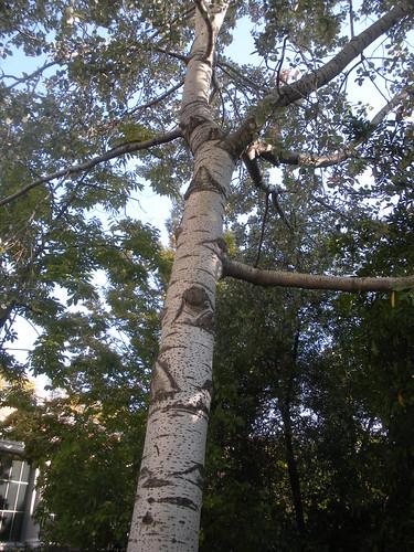 Populus alba ´pyramidalis´ (White Poplar) (Ã?lamo blanco)