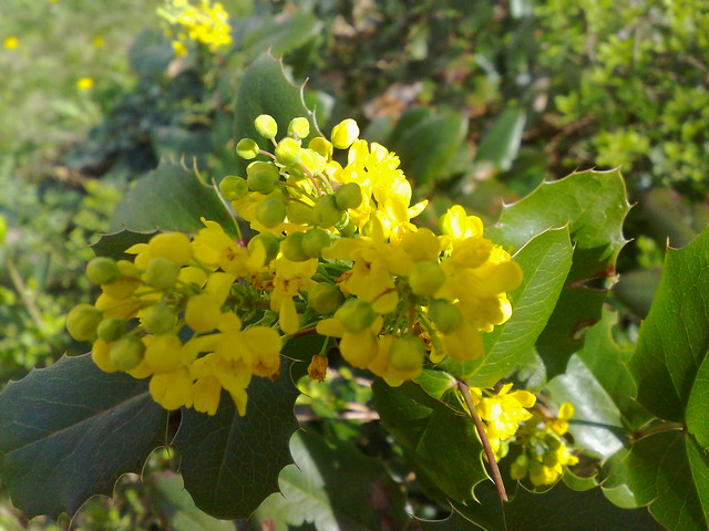 Mahonia japonica flowering berberitze hybrid caught my for Mahonia japonica