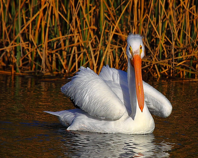 IMG_3368 American White Pelican