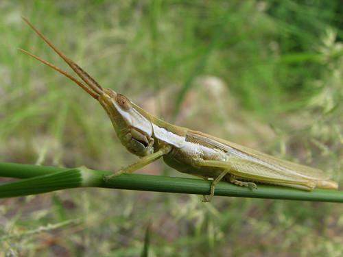 Pale Toothpick Grasshopper