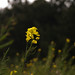 Small photo of Canola
