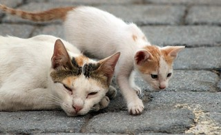 Omani Street Cat and her Kitten