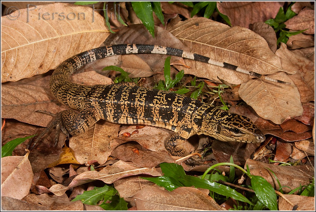 Gold Tegu: Pantanal Escapes – Articleblog info