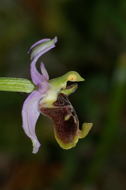 Ophrys Holoserica sub holoserica
