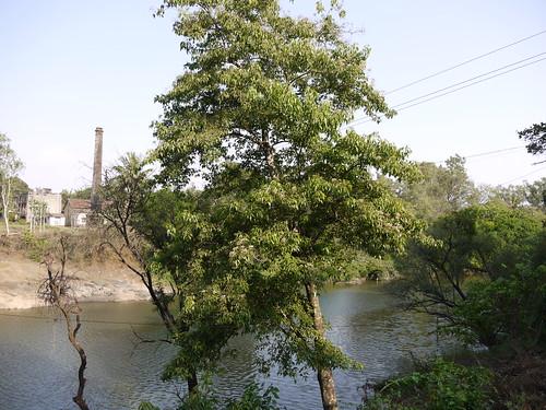 india tree river habit capparaceae crateva cratevaadansonii