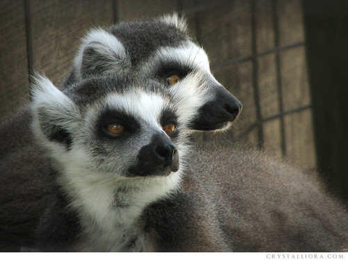 Ring-Tailed Lemurs