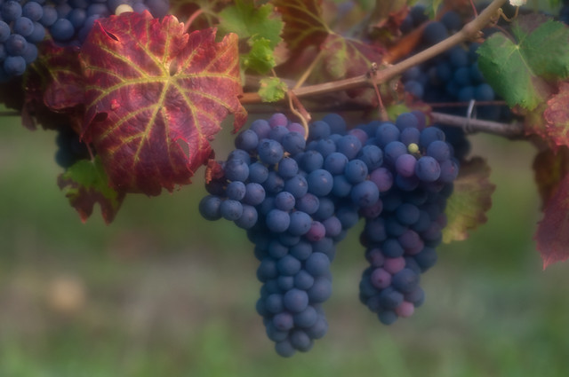 Cabernet Franc: Loire Valley, France