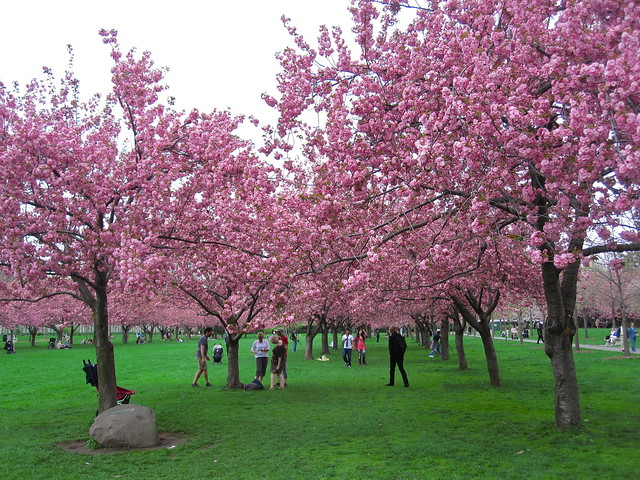 Cherry Esplanade. Photo by Rebecca Bullene.
