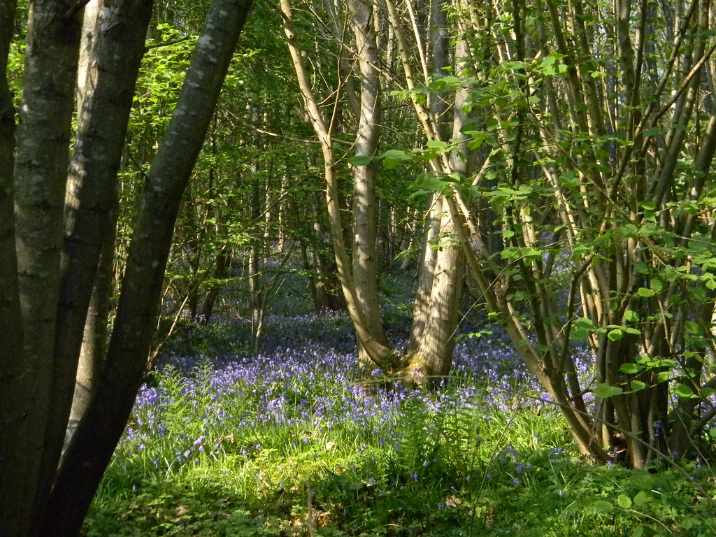 Bluebells Frant to Tunbridge Wells