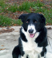 east siberian laika(0.0), border collie(1.0), dog breed(1.0), animal(1.0), dog(1.0), pet(1.0), karelian bear dog(1.0), russo-european laika(1.0), miniature australian shepherd(1.0), english shepherd(1.0), carnivoran(1.0),