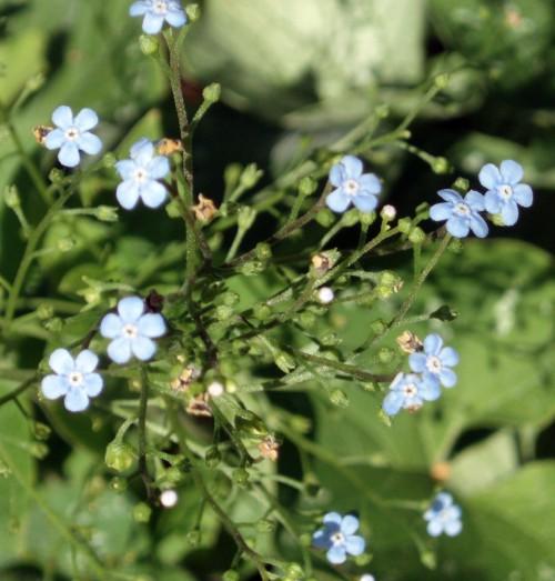 Brunnera macrophylla 5689391170_a6f8f0655f_o