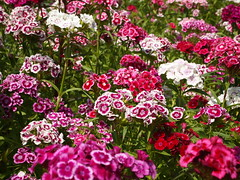 carnation(0.0), yarrow(0.0), shrub(0.0), annual plant(1.0), flower(1.0), dianthus(1.0),