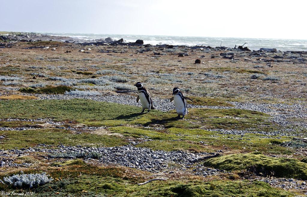 Pinguinera Seno Otway - Punta Arenas - Patagonia