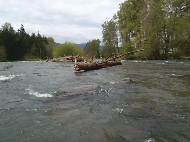 Local trout fishing report mckenzie and willamette rivers for Willamette river fishing report
