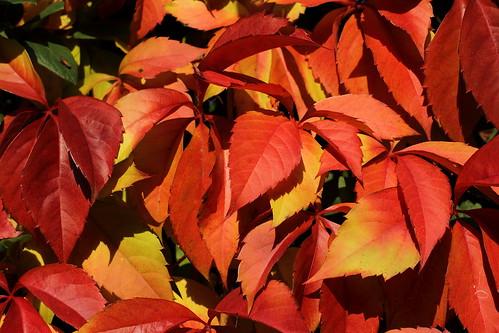 Autumn Leaves in my Garden