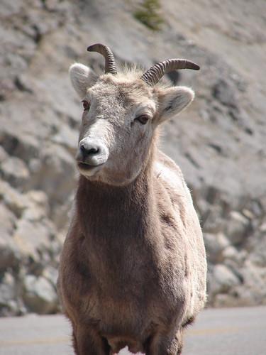 Nosy Old Goat, Alberta