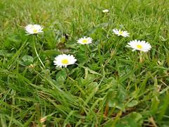 annual plant, prairie, flower, field, grass, plant, marguerite daisy, nature, chamaemelum nobile, daisy, wildflower, flora, meadow, daisy, grassland,