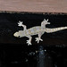 Flat-tailed House Gecko - Photo (c) Drriss, some rights reserved (CC BY-NC-SA)