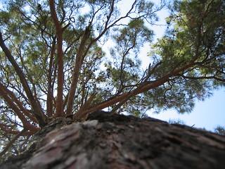Perspektivaufnahme eines Nadelbaums