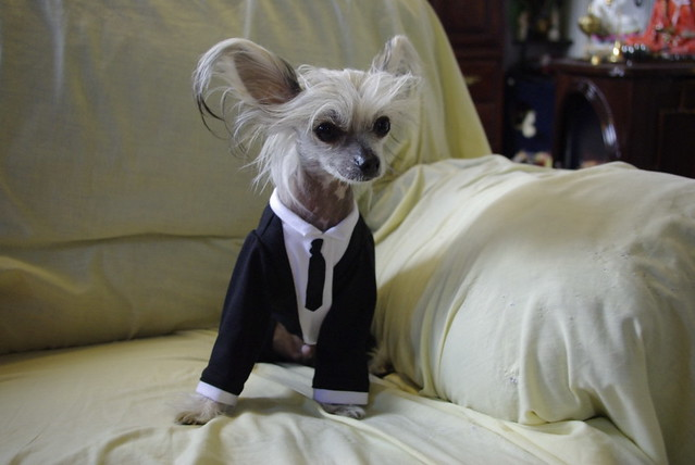 Very Funny Puppy Cute Dressed up Chihuahua