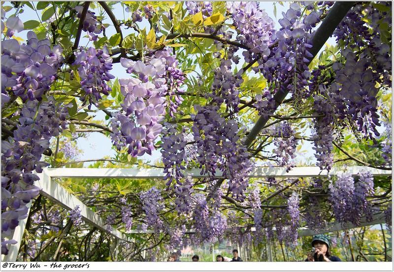 2014-04-05 紫藤花-4