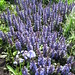 Small photo of Ajuga